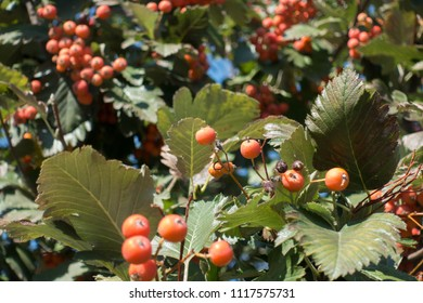 Orange fruits in the leafage of Sorbus aria