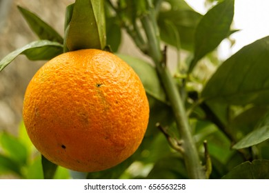 orange fruits on trees with green leaves