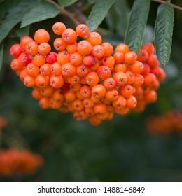 Orange fruits of rowan close up