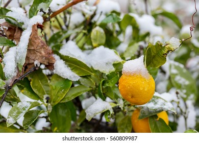 Orange fruits in tree covered by snow