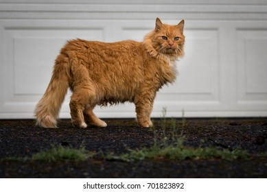 Orange furry cat in driveway