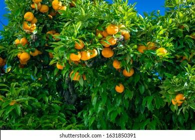 Orange garden. citrus fruits. oranges on a tree