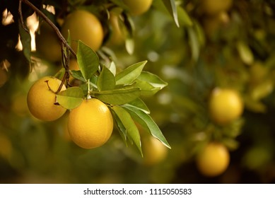 Orange garden with ripening orange lemon fruits on the trees with green leaves, natural and food background