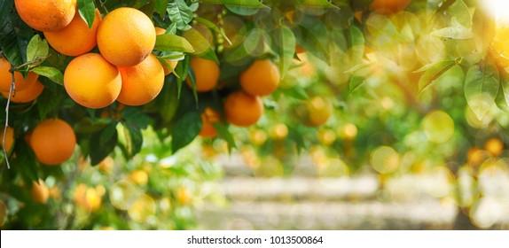 Orange garden, summer background