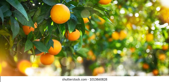 Orange garden, summer background