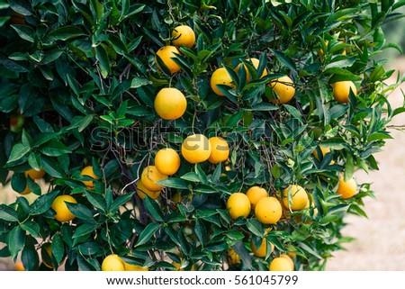 Orange Garden Trees Ripe Fruits Stock Photo (Edit Now) 561045799 ...