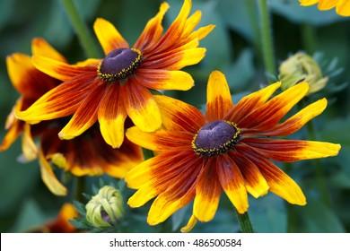 Orange gardens daisies (rudbeckia) flower closeup
