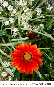 "Orange Gazania Daybreak and white Alyssum ""carpet of snow"" flowers"