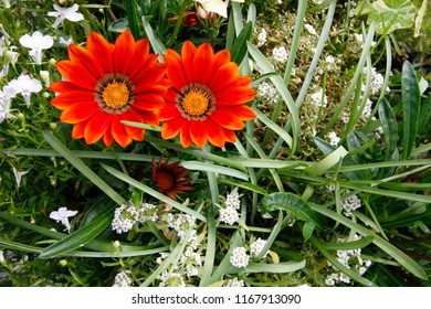 Orange Gazania Daybreak and white Lobelia and Alyssum flowers