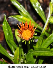 An orange Gazania flower covered in raindrops in Brisbane, Australia.
