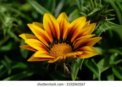 Orange Gazania Rigens or Treasure flower, African Daisy in full bloom on flower bed. Selective focus.