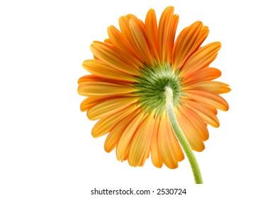 Orange gerber daisy isolated on white