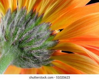 Orange Gerbera Daisy (Asteracea) - Macro