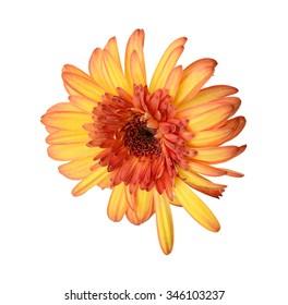 Orange gerbera daisy flower isolated on white background.