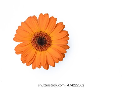 Orange Gerbera Daisy flower isolated on white.