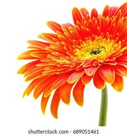 Orange gerbera daisy flower isolated on a white background