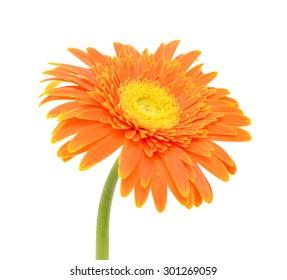 orange Gerbera Daisy isolated on white background