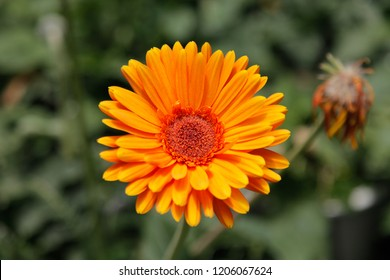 Orange Gerbera Daisy in the Wild Gardens