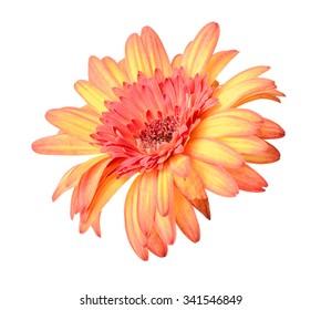 Orange gerbera flower isolated on a white background