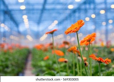 Orange Gerbera flower on a blurred background greenhouses. Production and cultivation of flowers.Gerbera Plantation. Transvaal Daisy.