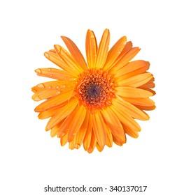 orange gerbera isolated on white background