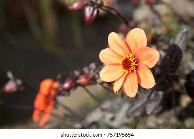 Orange Gerbera in the sunshine