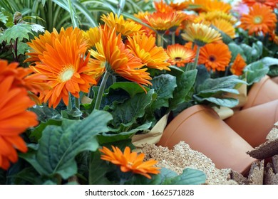 orange gerberas and many pots