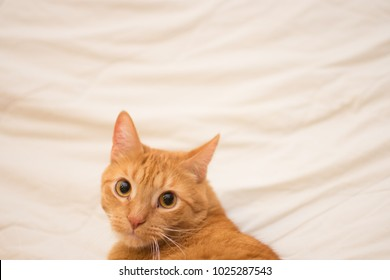 Orange (ginger) cat on white background making eye contact with camera.