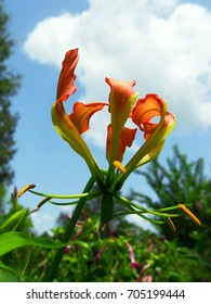Orange Gloriosa lily framed against white puffy cloud and blue sky with pink four o'clocks in the background