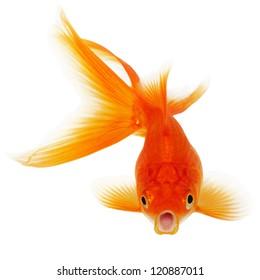 Orange Gold Fish Isolated on White Background Without Shade