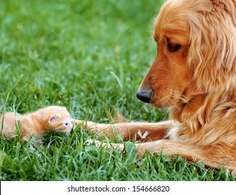 orange golden retriever dog and baby cat outdoor on green grass