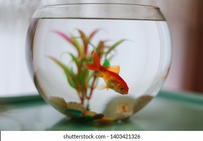 Orange goldfish in  the fishbowl with green weeds