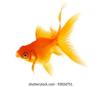 Orange Goldfish on White