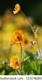 Orange goldilocks on a yellow background