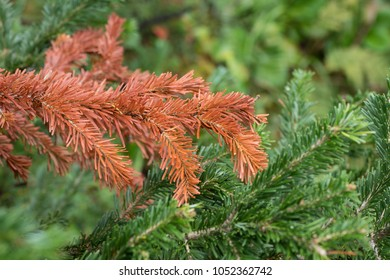 Orange and green branches of fir