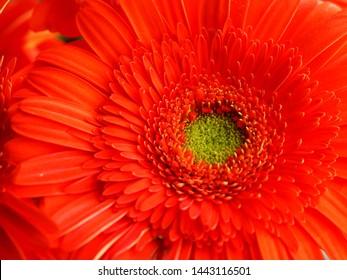 Orange and green gebera daisy