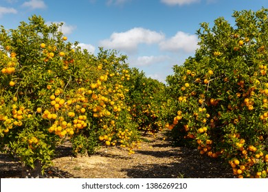 An orange grove in closeup with a bokeh background in Spain in sunny weather with blue sky.