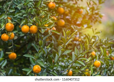 Orange grove, full of ripe oranges on trees, artificial light, selective focus, copy space