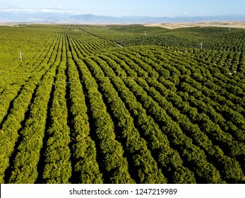 Orange grove rows point to the southern Sierra Nevada foothills. Richgrove, California, USA