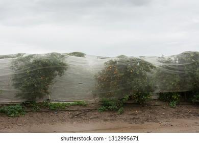 Orange Groves autumn rainy landscape