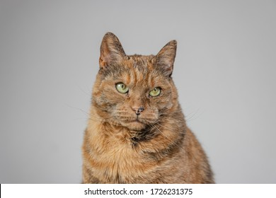 An orange grumpy cat with a white background