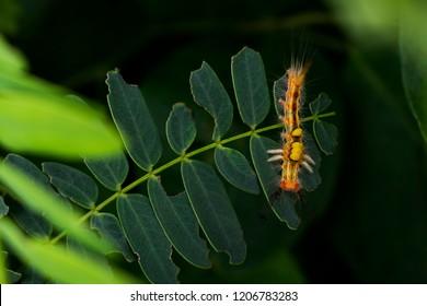 orange hairy caterpillar on the tree