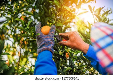 The orange and the hands of the orange gardener are made every day in his orange orchard. Orange hand