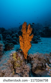 Orange hard coral emerging from the reef in the Red Sea, Egypt