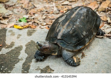 Orange Headed Temple Terrapin or Giant Asian Pond Turtle, Thailand