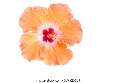 Orange hibiscus flower isolated on white, clipping path included