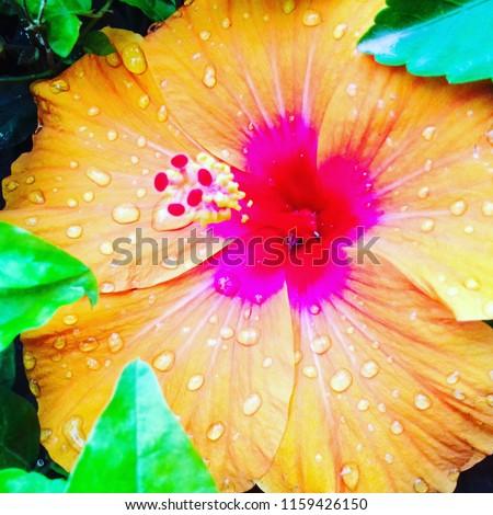 orange-hibiscus-flower-pink-center-450w-