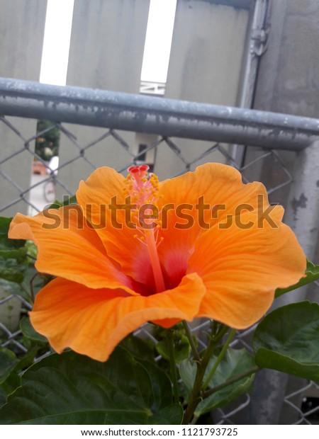 Orange hibiscus flowers in the garden