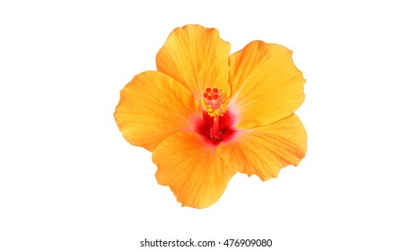 Orange Hibiscus flowers isolated on white background