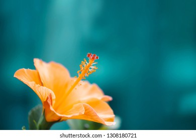 Orange hibiscus flowers on blurred blue background with copy space
